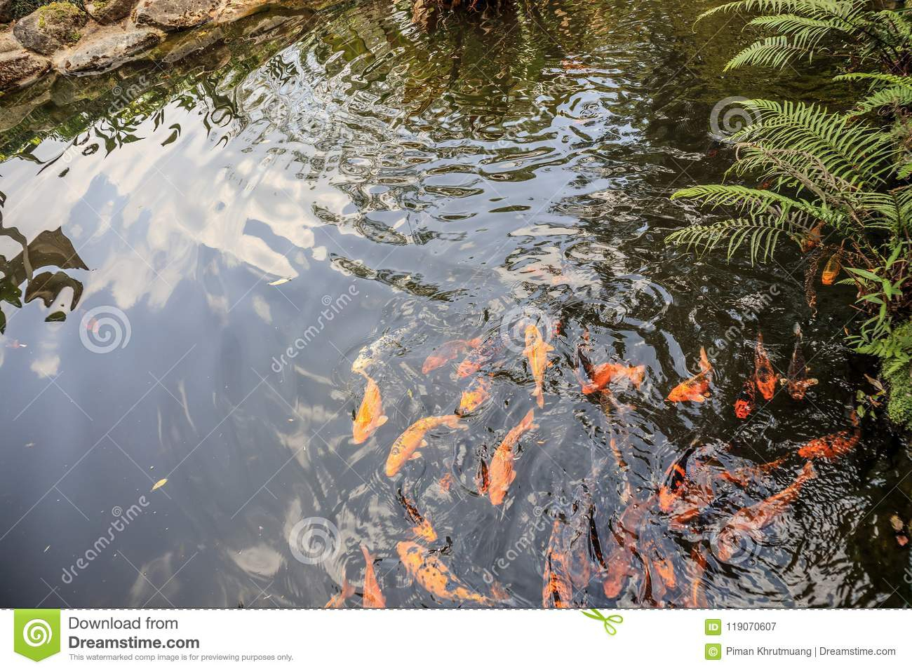 Koi Fish In Pond Decorative Landscape Design Stock Image Image Of Carp Color 119070607