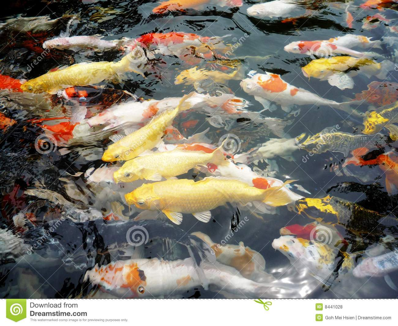 Golden koi in a pond in japan royalty free stock image for Ornamental pond fish golden