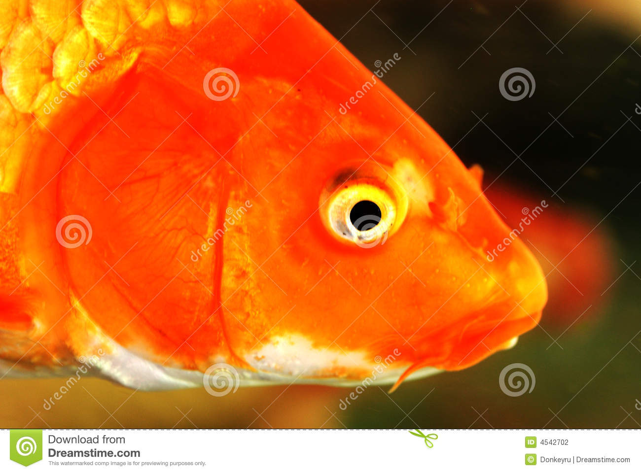 Koi fish head stock photo. Image of peace, ornamental - 4542702