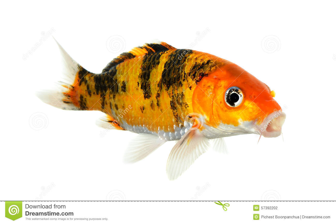 Koi Fish Isolated On The White Background Stock Photo
