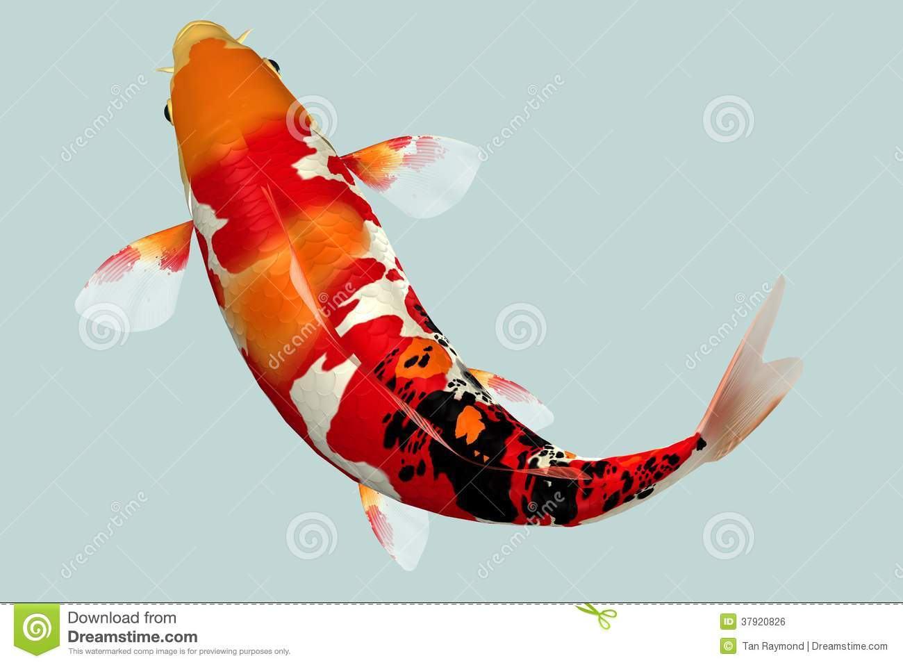 Red Head Koi Fish stock photo. Image of marine, color - 37920794