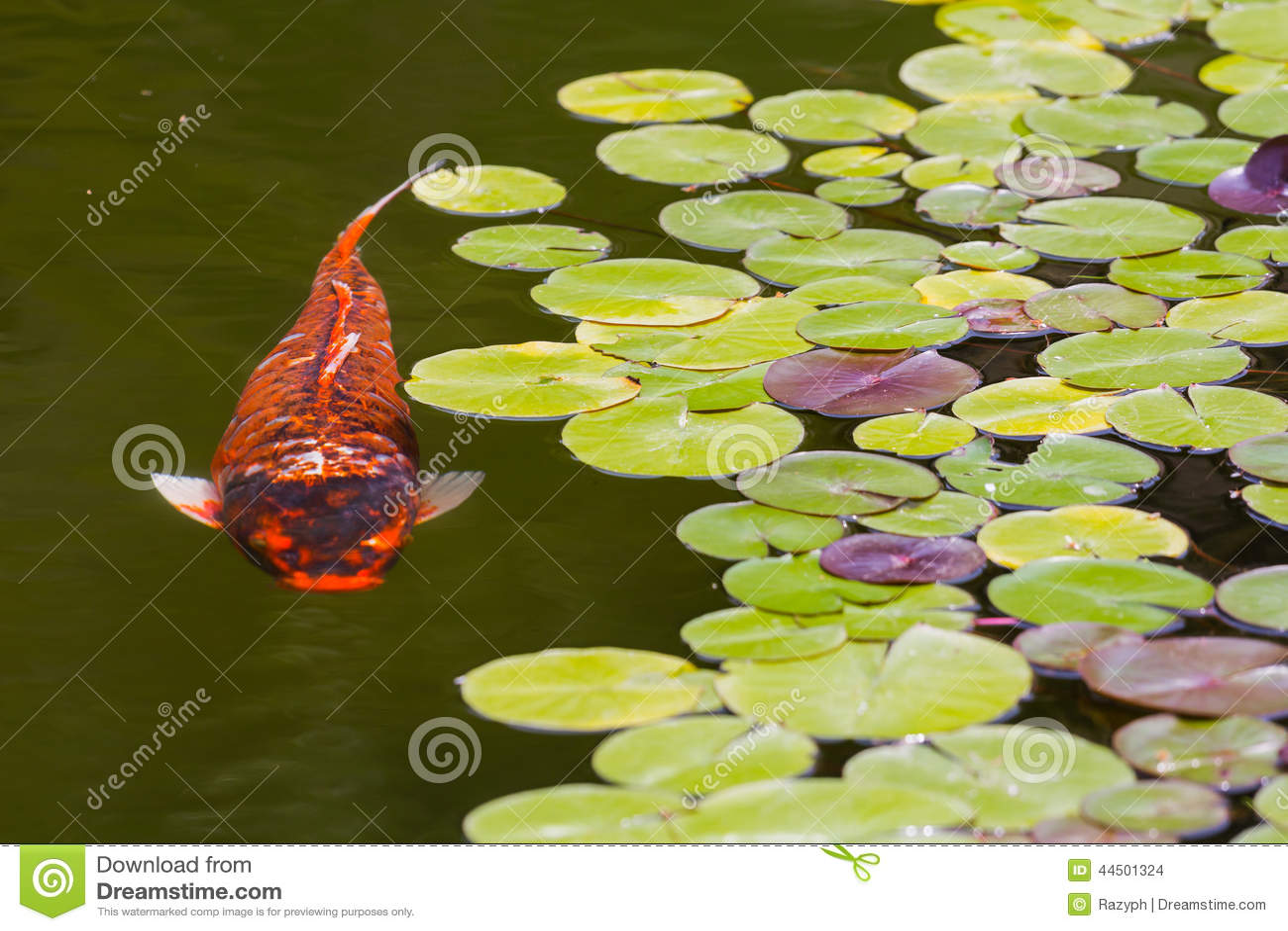Koi Fish Stock Photo Image 44501324
