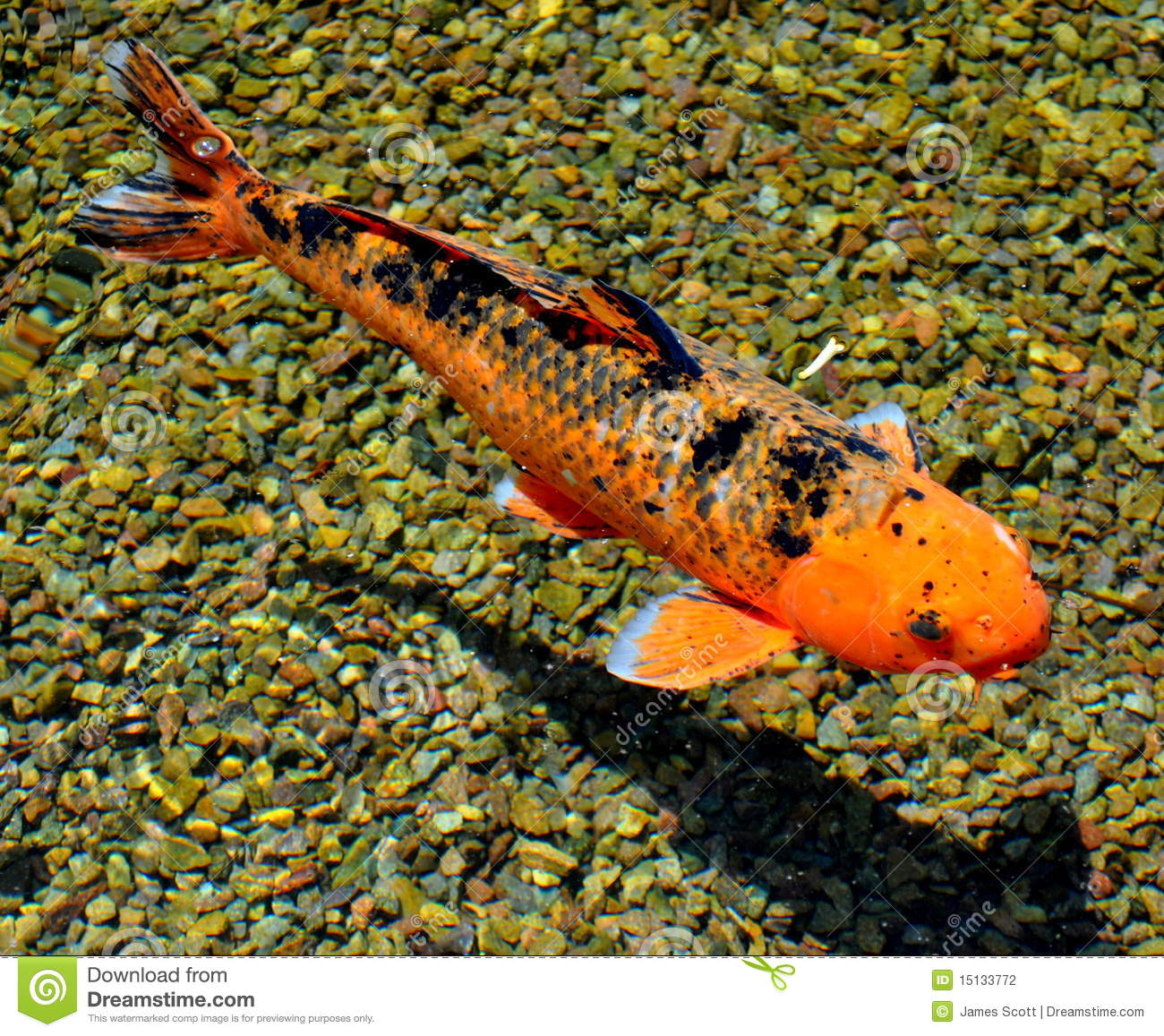 Koi fish nishikigoi stock photography image 15133772 for Nishikigoi koi