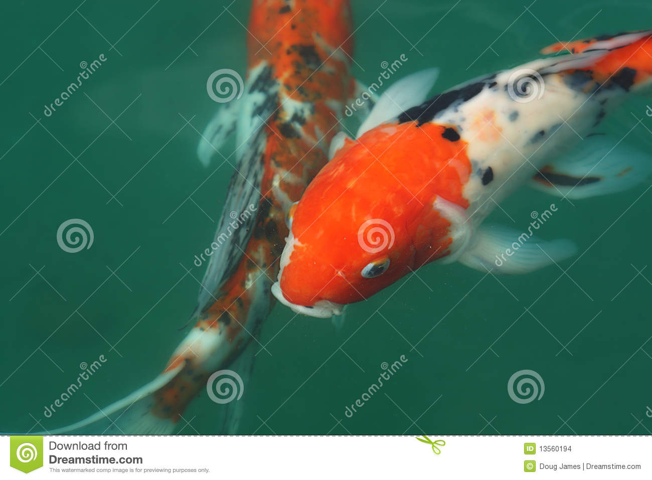Koi fish in a pond stock images image 13560194 for Koi fish in pool