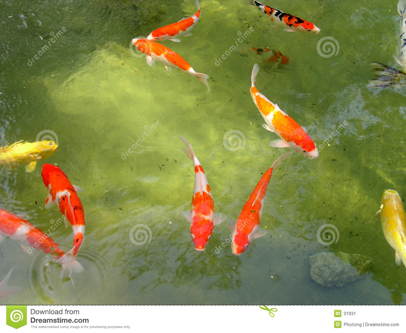 Koi fish pond stock image image of swimming carp fish for Freshwater koi fish