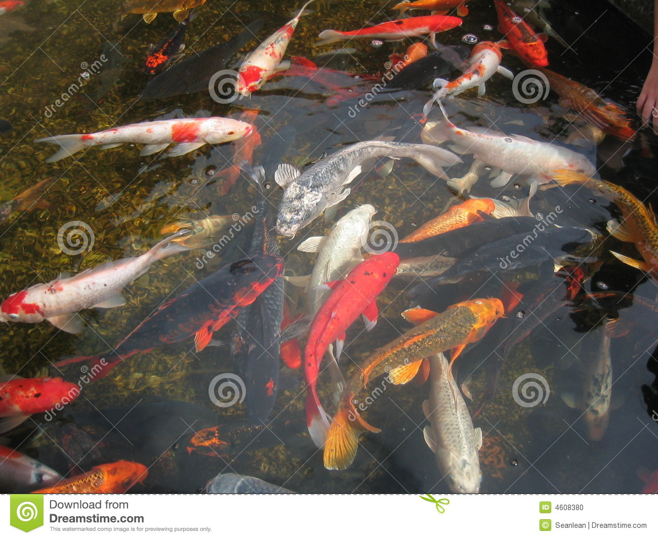 Koi fish in pond stock photo image 4608380 for Freshwater koi fish