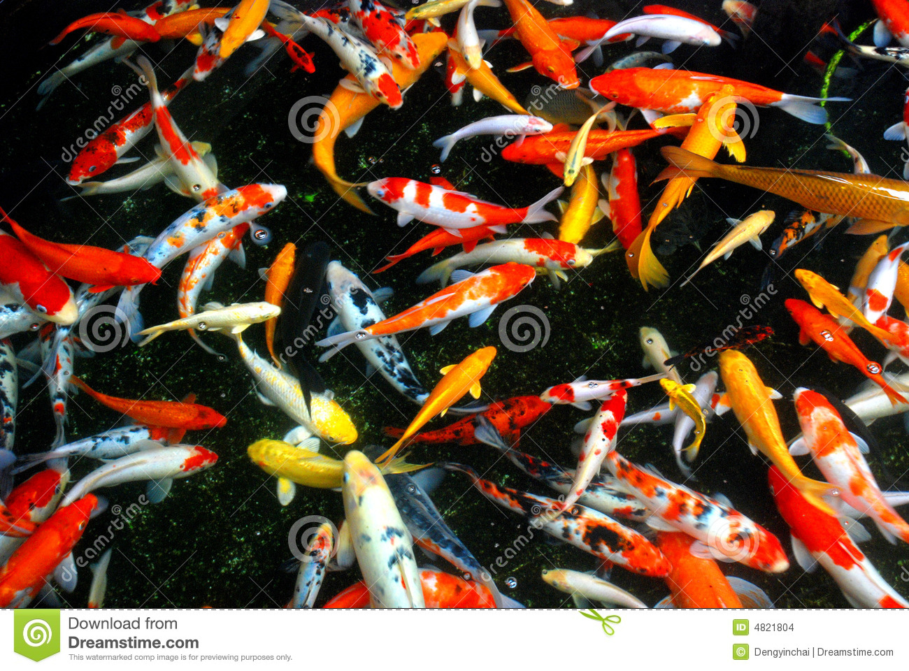... and beautiful koi fishes swim carefree and happily in the pond