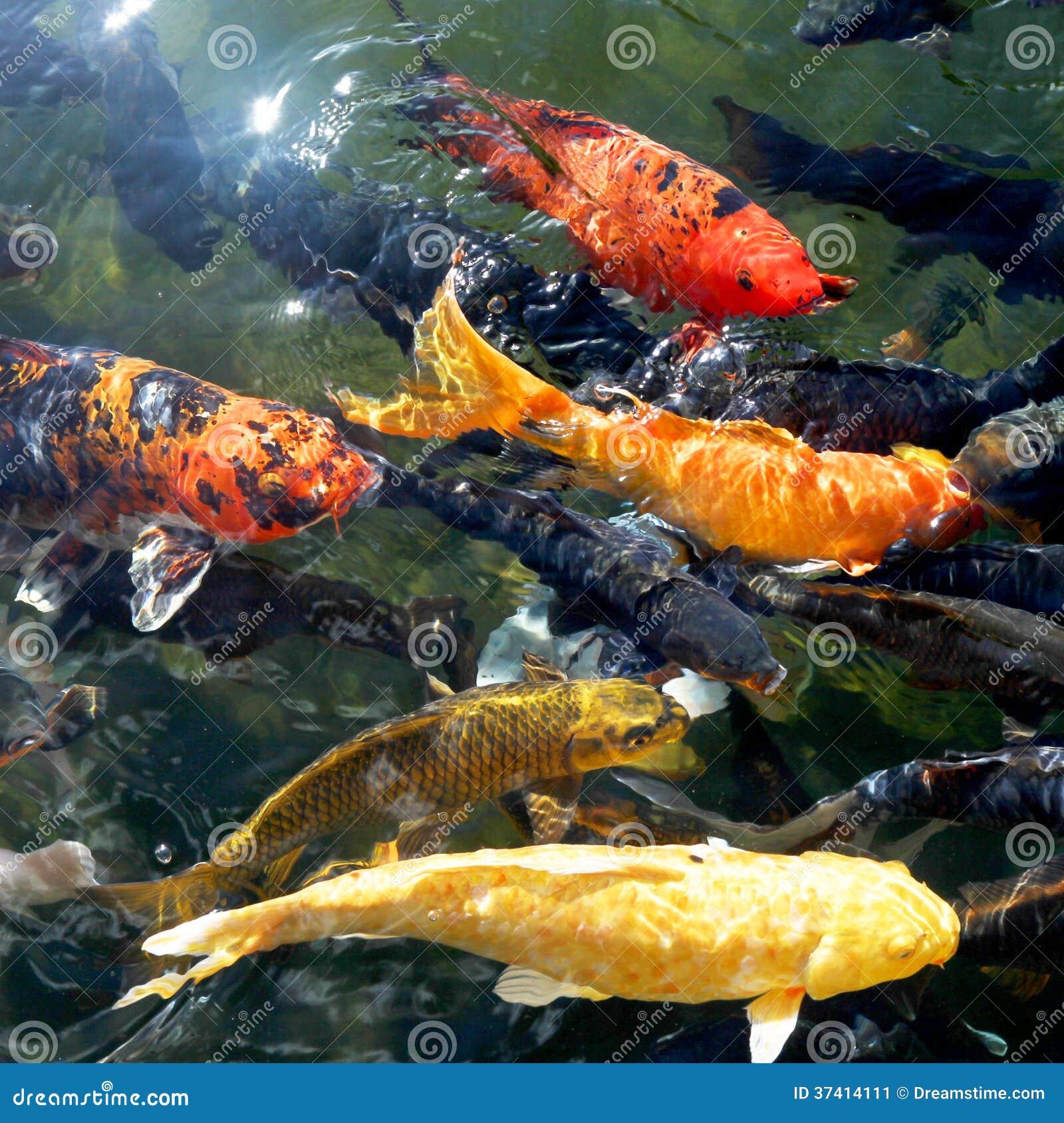 Koi fish pond stock photography 41038748 for Koi fish dealers