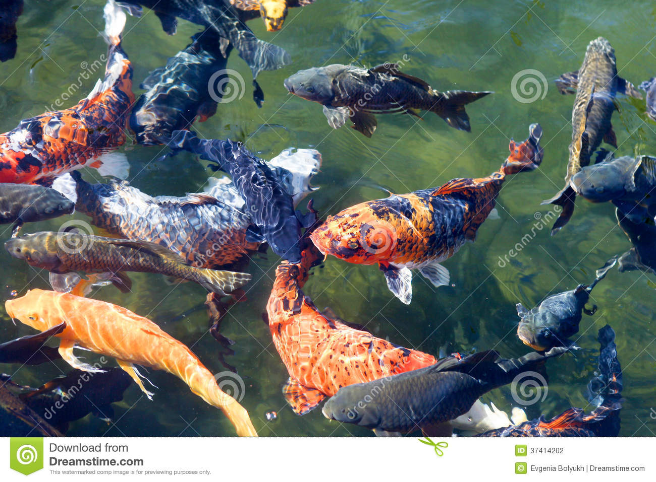 Koi fish in the pond stock photo image of fancy for Colourful koi fish