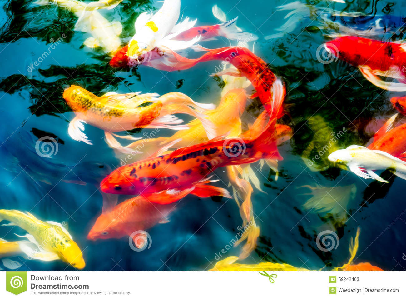 Koi fish in pond colorful natural background stock photo for Colorful pond fish