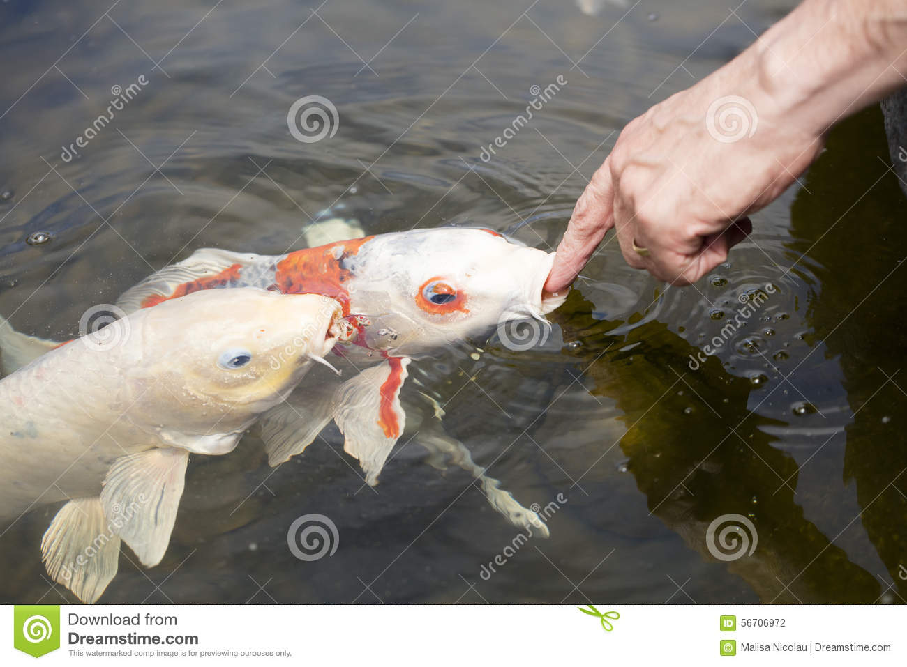 Koi fish in a pond stock photo image 56706972 for All black koi fish