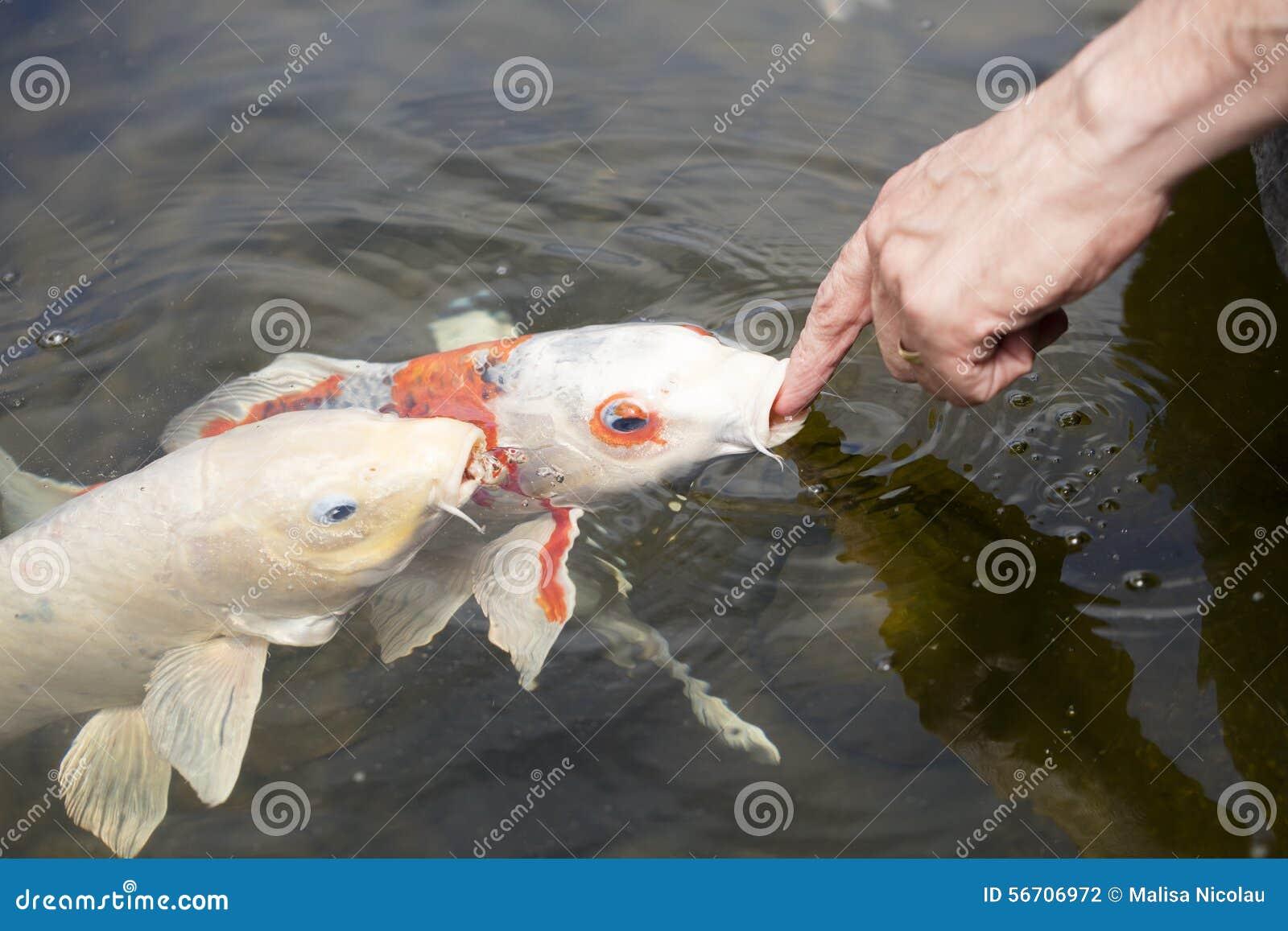 koi fisk damm