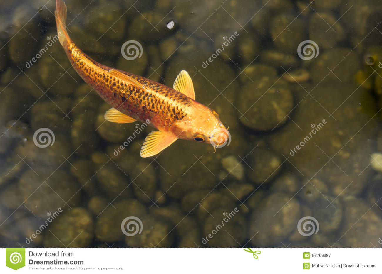 Koi fish in a pond stock photo image 56706987 for Black and gold koi fish