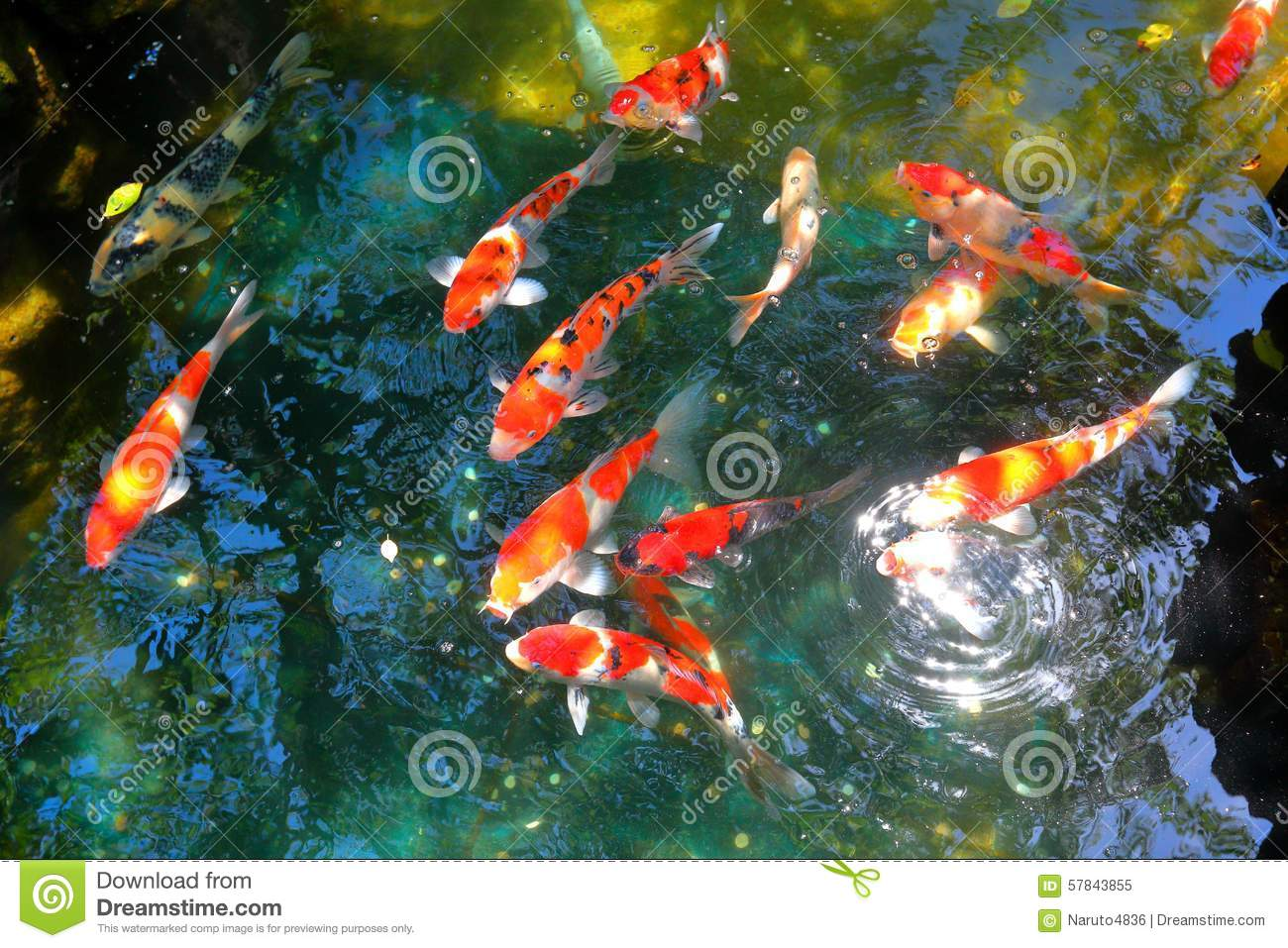Koi fish pond stock photo image 57843855 for Colorful pond fish