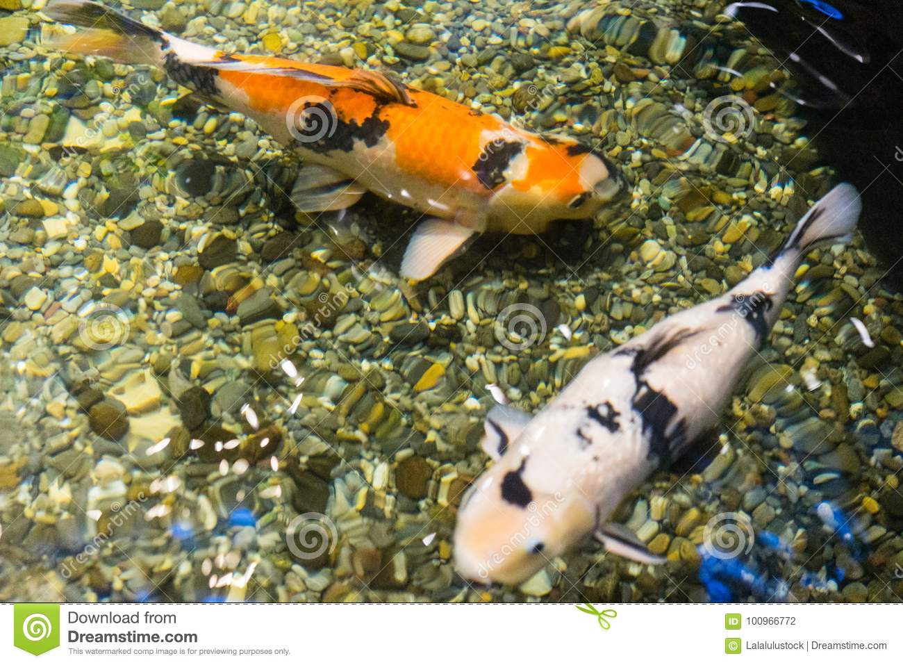 Koi fish in pond top view orange and white asian sign of luck and wealth