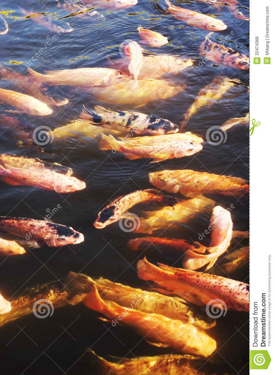 Koi fish in pool royalty free stock image image 22474366 for Koi fish swimming pool