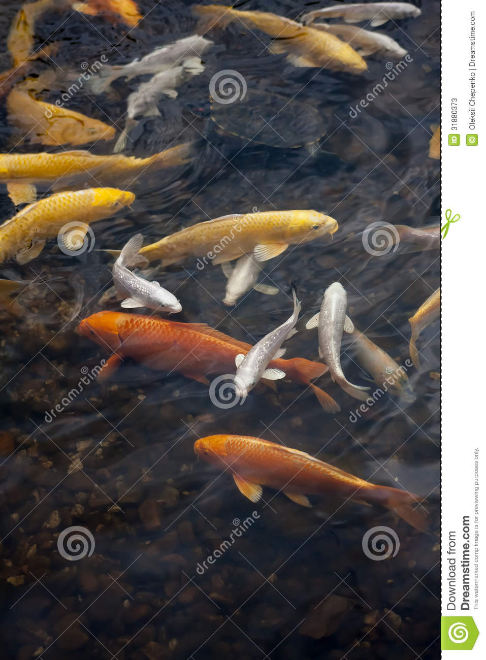 Koi fish stock photos image 31880373 for Red and white koi fish