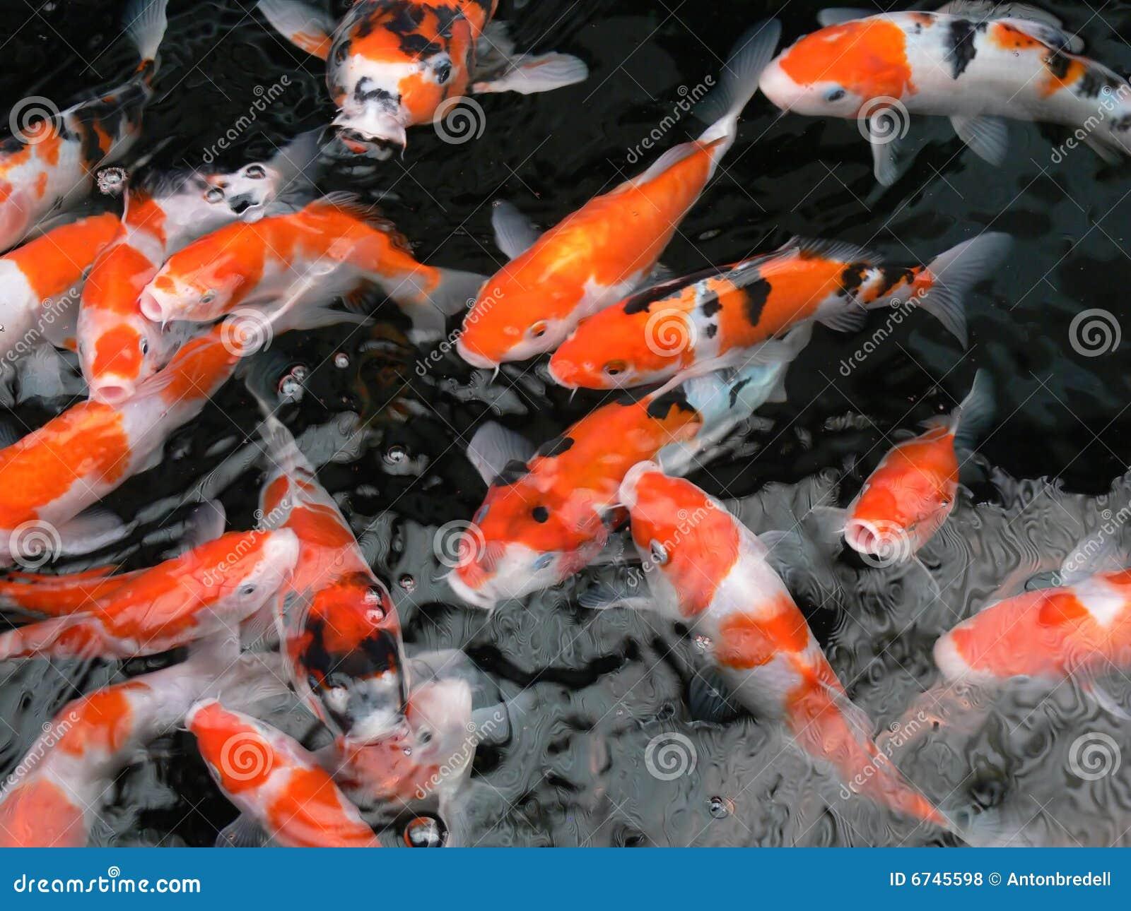 Koi fish swimming stock photo image of anticipate for Koi fish swimming