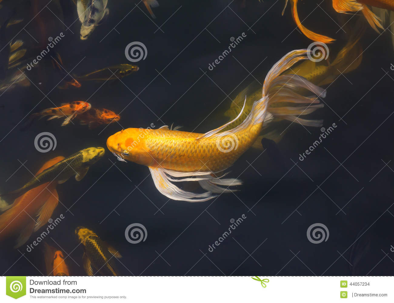 Koi fish swimming stock photo image 44057234 for Koi fish water