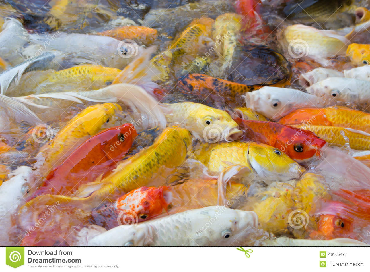 Koi fish swimming beautiful color variations natural for Dream of fish swimming