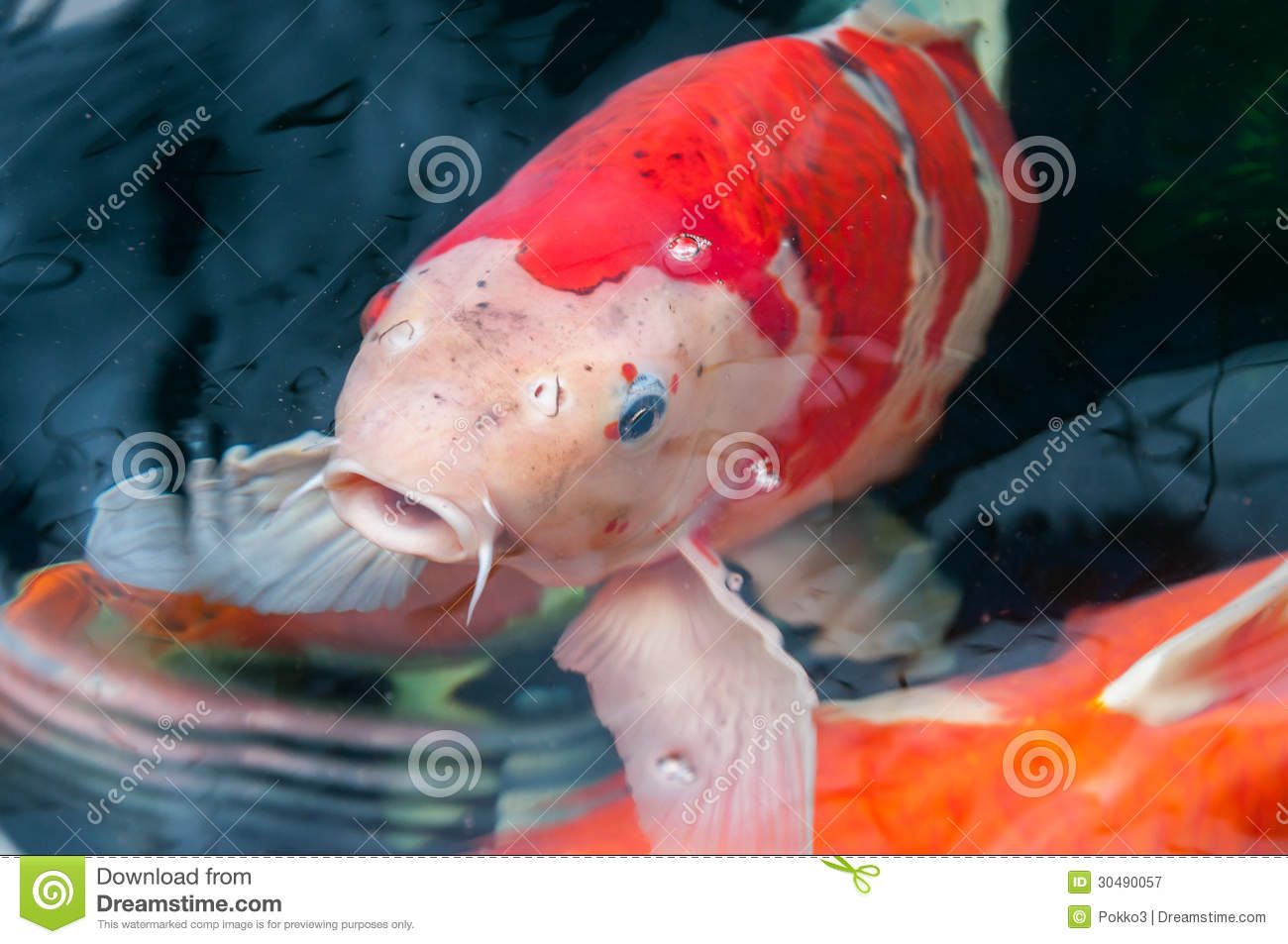 Koi fish royalty free stock photography image 30490057 for Dream of fish swimming