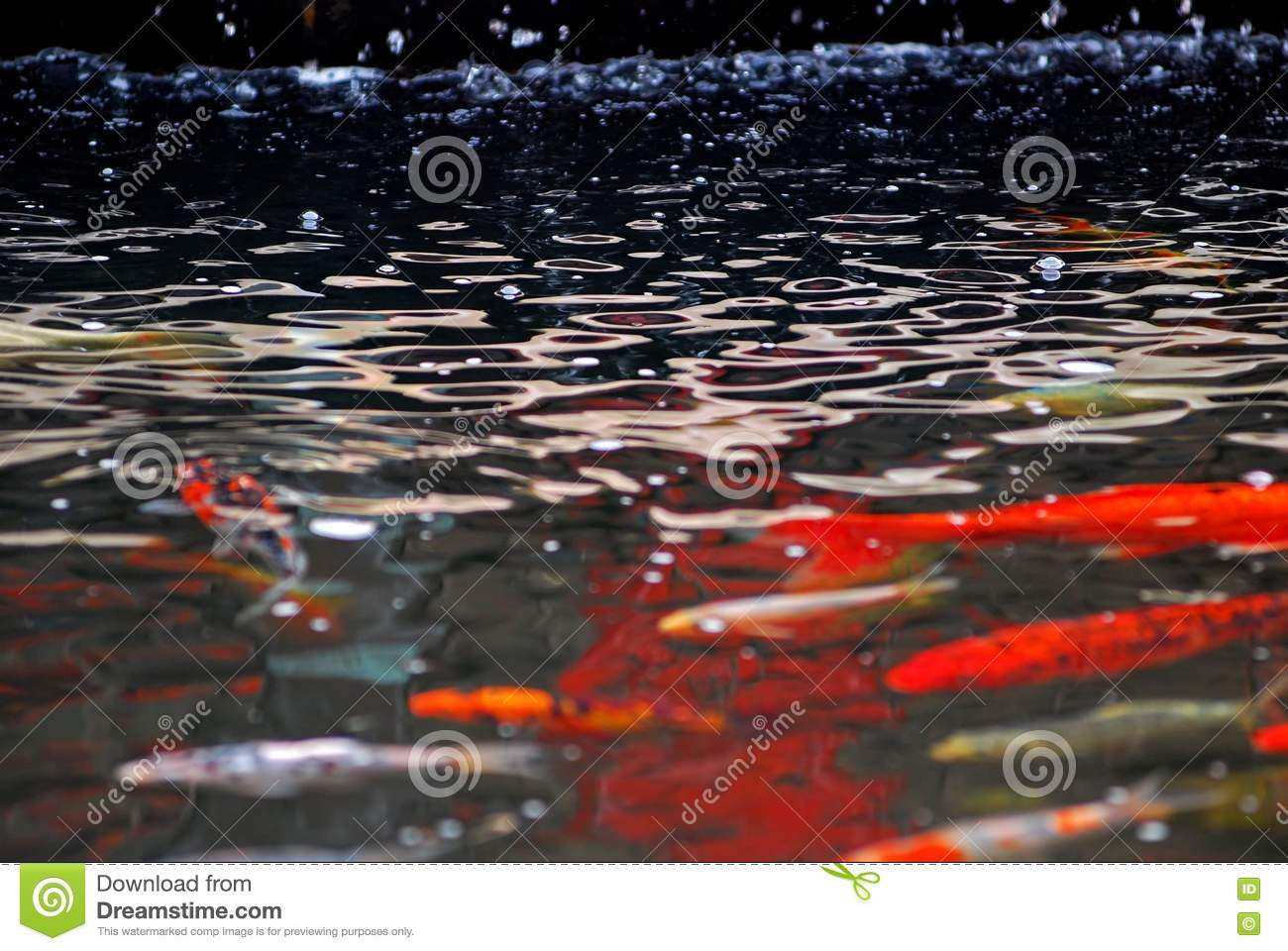 Koi fish swimming in the pond royalty free stock images for Dream of fish swimming
