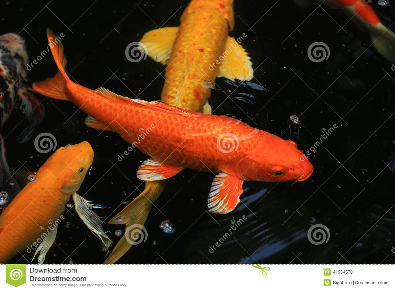 Koi fish swimming in the pond stock photo image 41984579 for Pool koi aquatics ltd