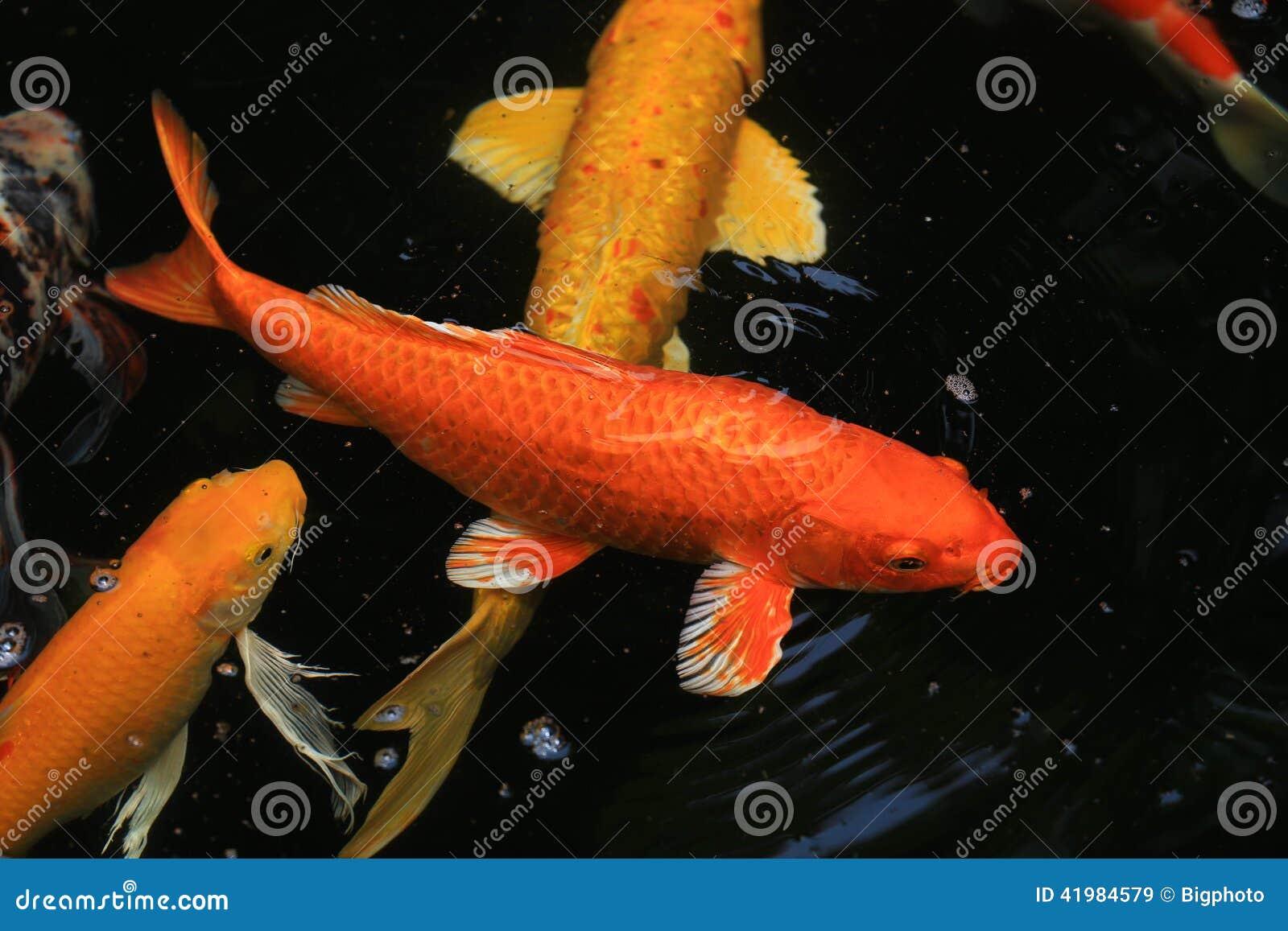 Koi Fish Swimming In The Pond Stock Image - Image of lake, swim ...