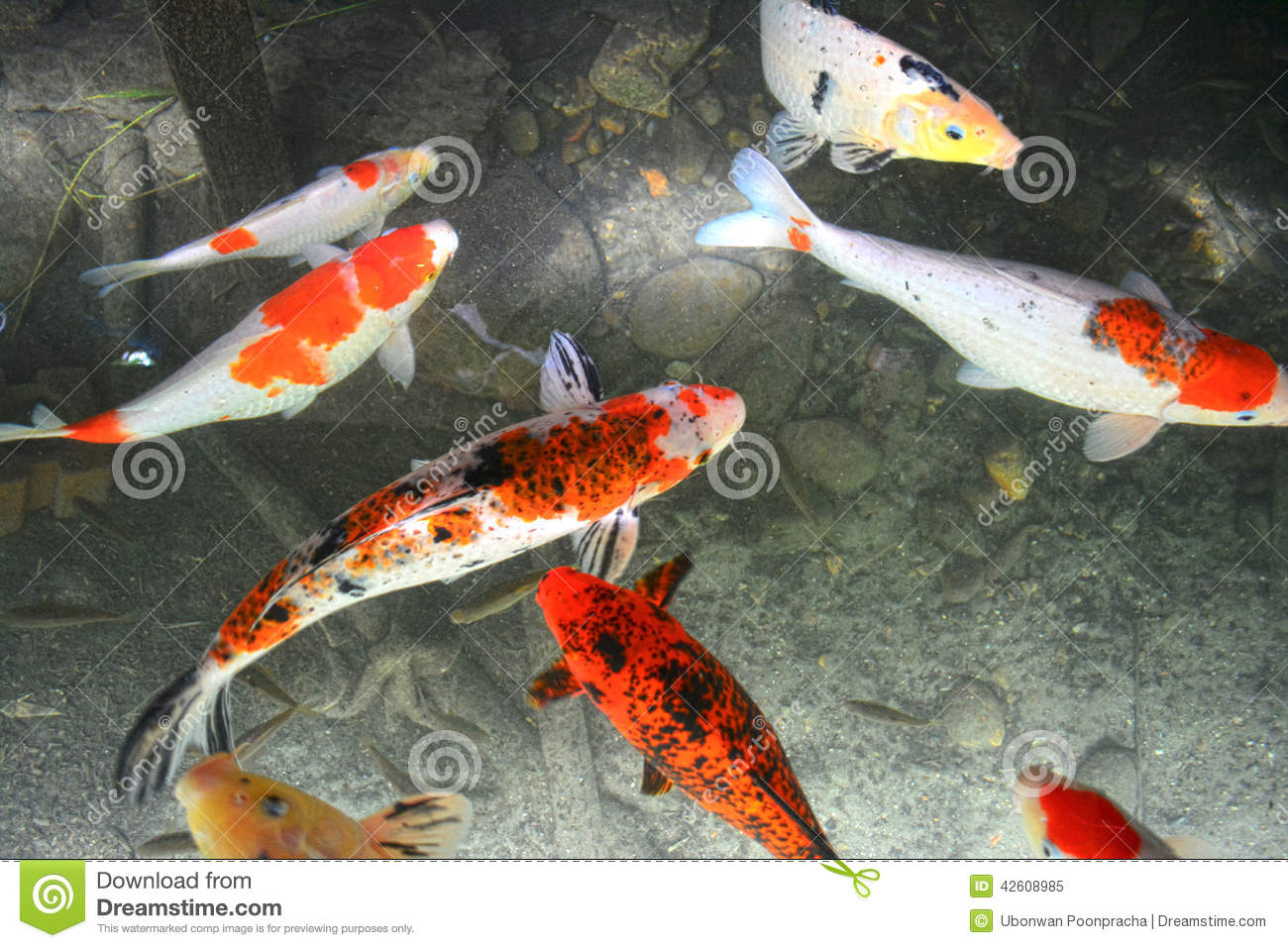 Koi fish swimming in pond stock photo image 42608985 for Golden ornamental pond fish crossword