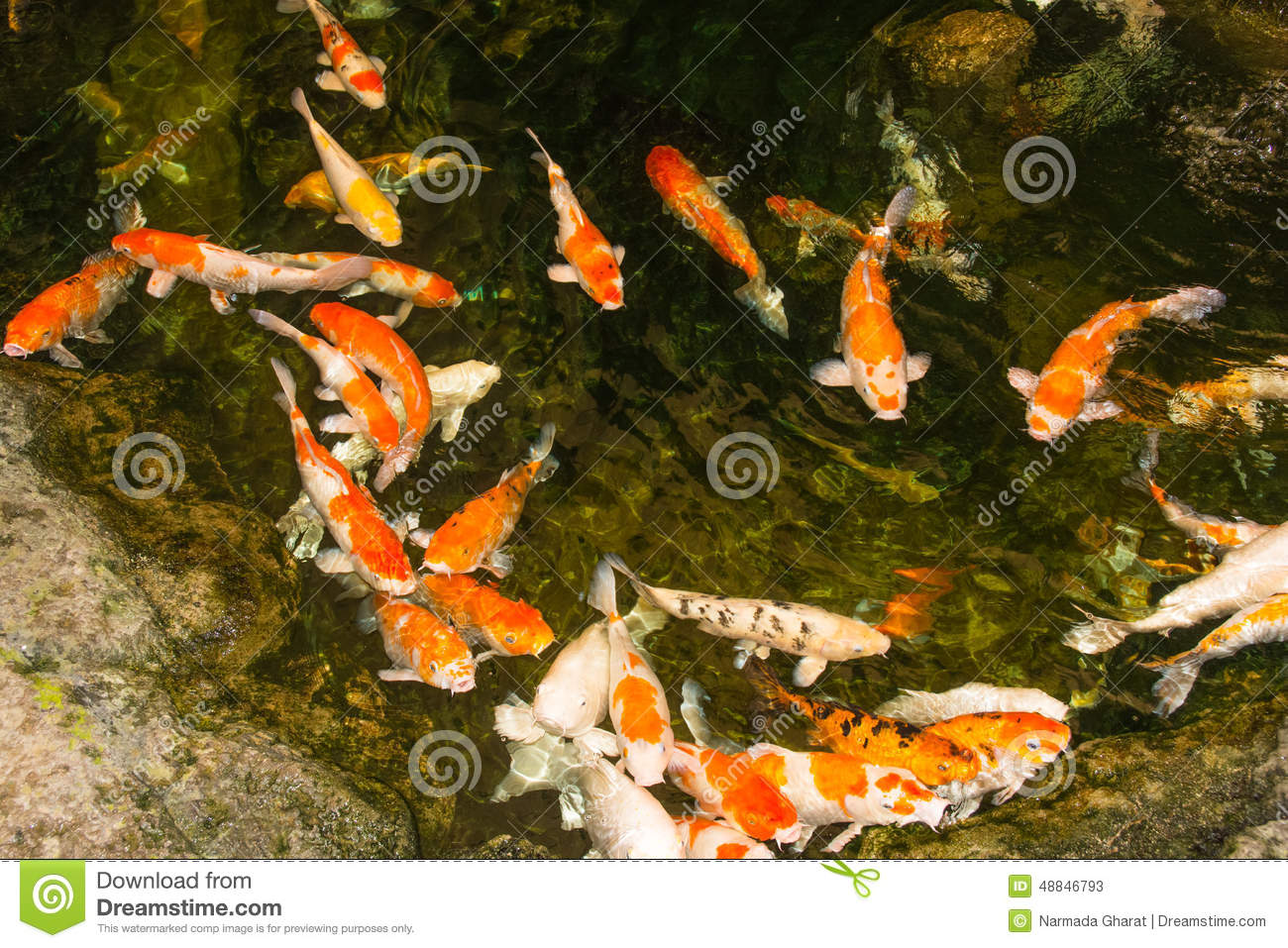Koi fish swimming in pond stock photo image 48846793 for Decorative pond fish