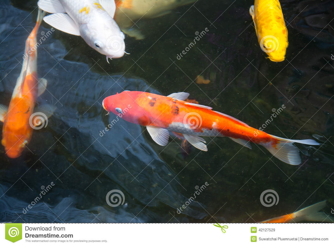 Koi fish swimming in the pond stock image image 42127529 for Koi pool water