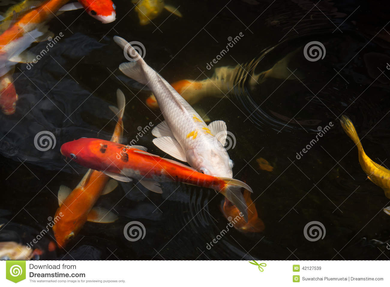 Koi fish swimming in the pond stock photo image 42127539 for Koi fish in water