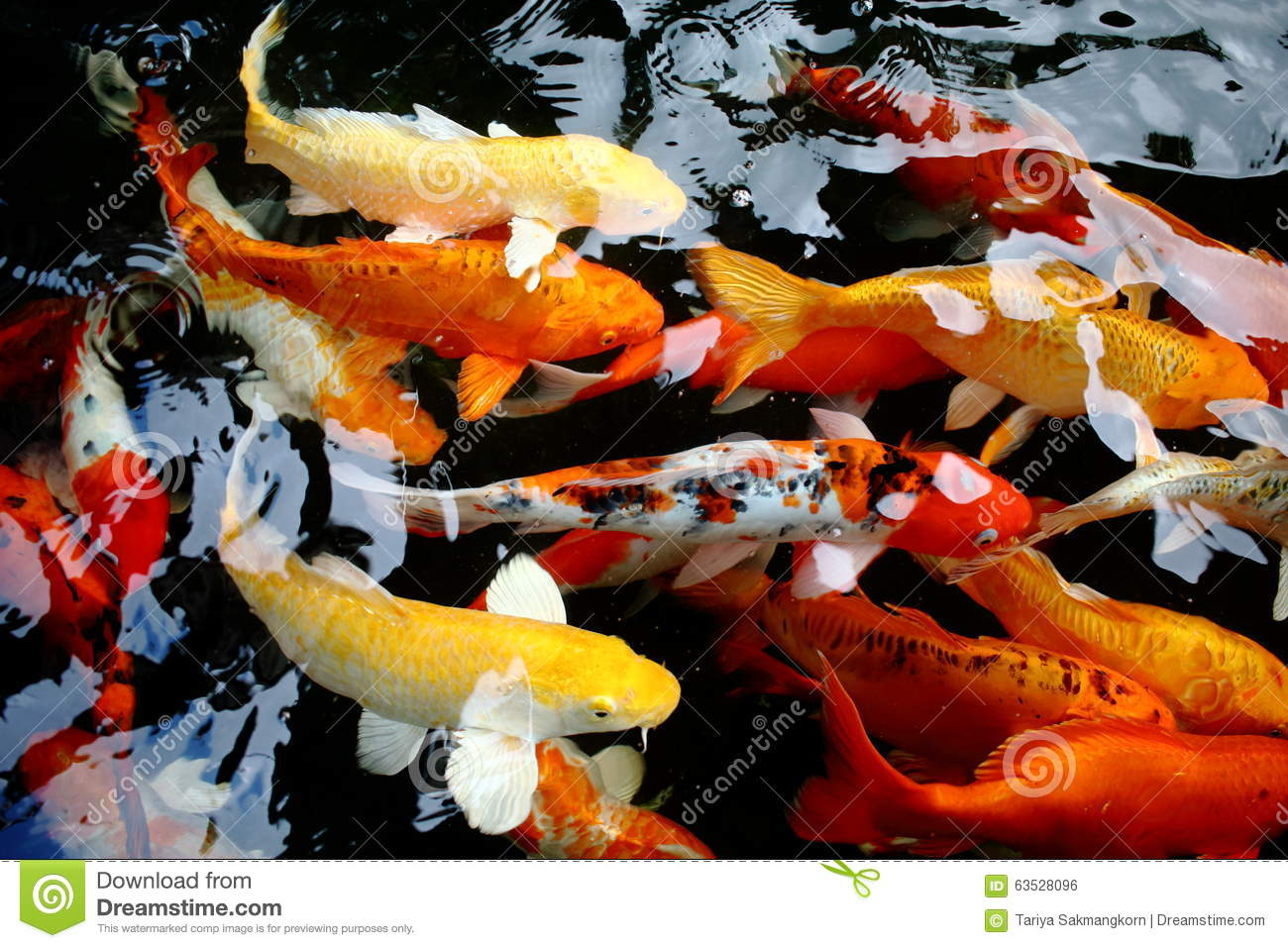 Koi fish swimming in pool stock photo image 63528096 for Koi swimming pool