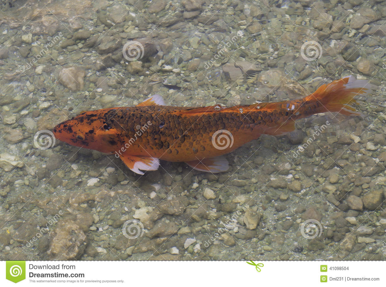 Koi fish swimming in rocky pond stock photo image 41098504 for All black koi fish