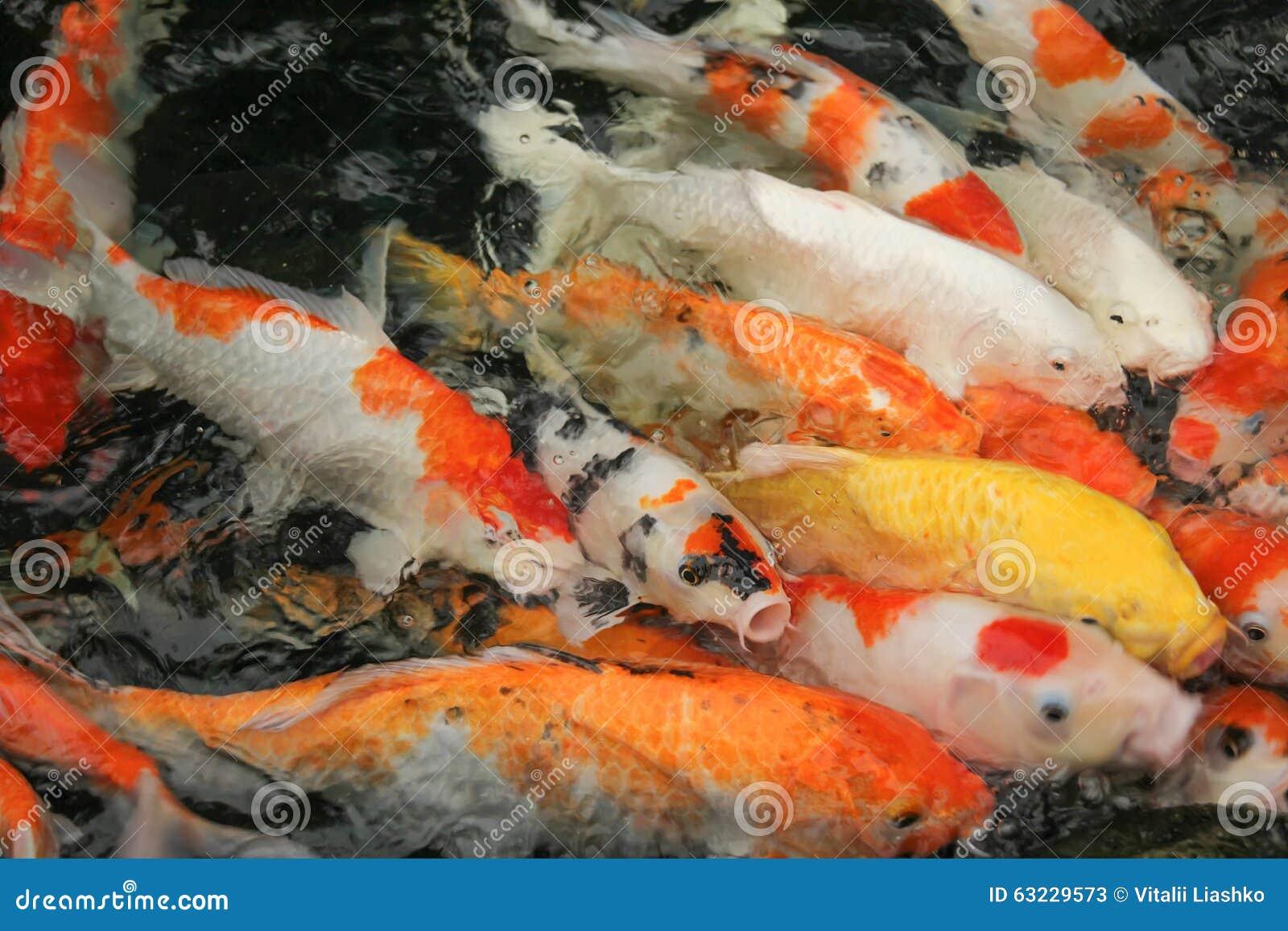 Koi fish swimming in water stock photo image 63229573 for Koi fish swimming