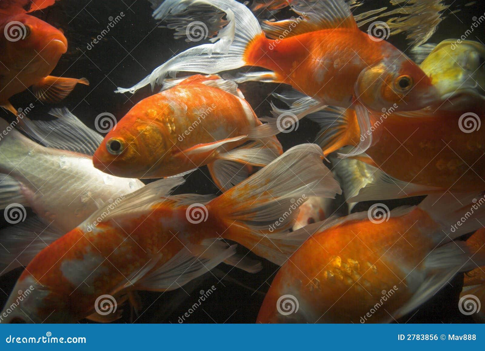 Koi fish underwater royalty free stock image image 2783856 for Koi fish family