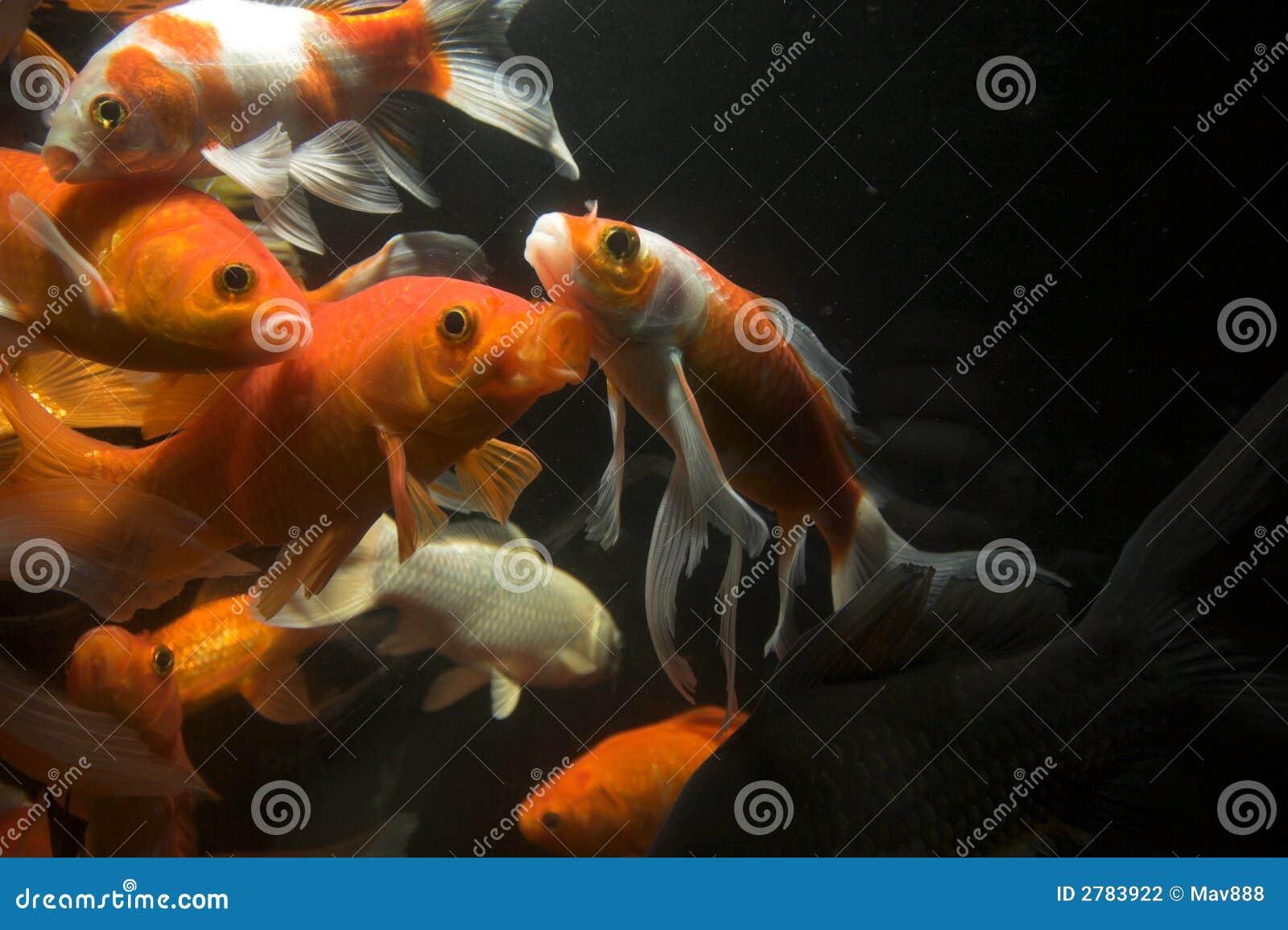 Koi fish underwater stock photo image of black japan for Koi fish photos
