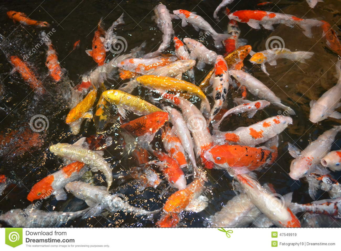 Koi fish stock photo image 47549919 for Keeping koi carp