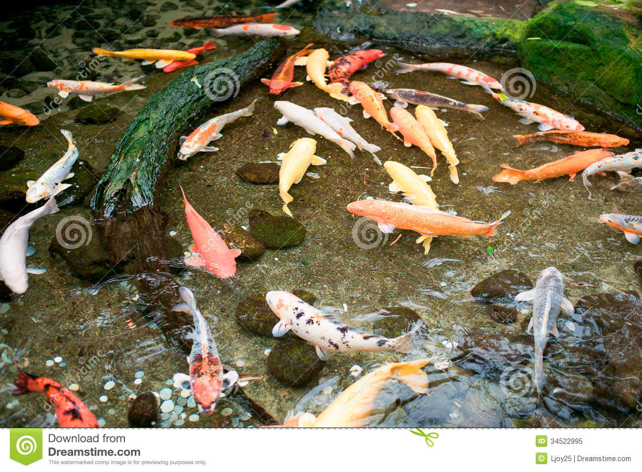 Koi fish in water stock image image of peace landscape for Koi pool water
