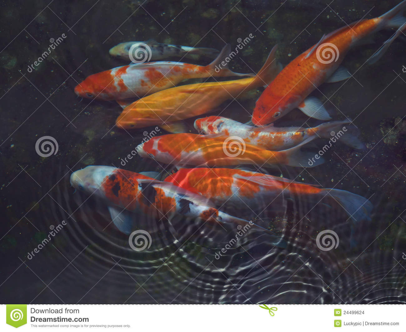 Koi fish with water ripple stock images image 24499624 for Koi fish in water