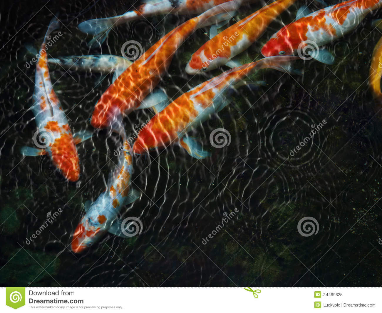 Koi fish with water ripple royalty free stock photo for Koi fish water