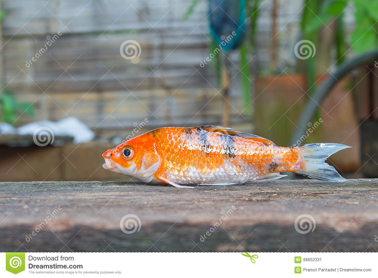 Koi Stock Photo Image 66652331