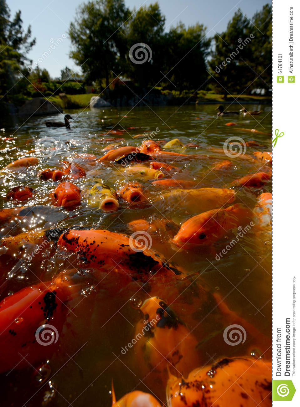Koi fish in a zen pond for tranquil nature setting stock Setting up fish pond