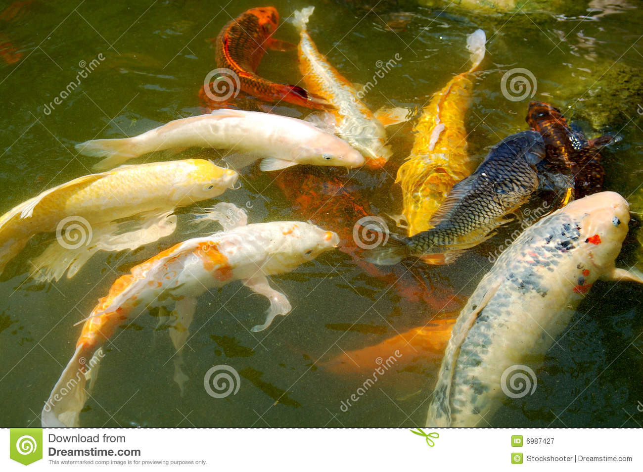 Koi fishes swimming in pond royalty free stock photography for Koi swimming