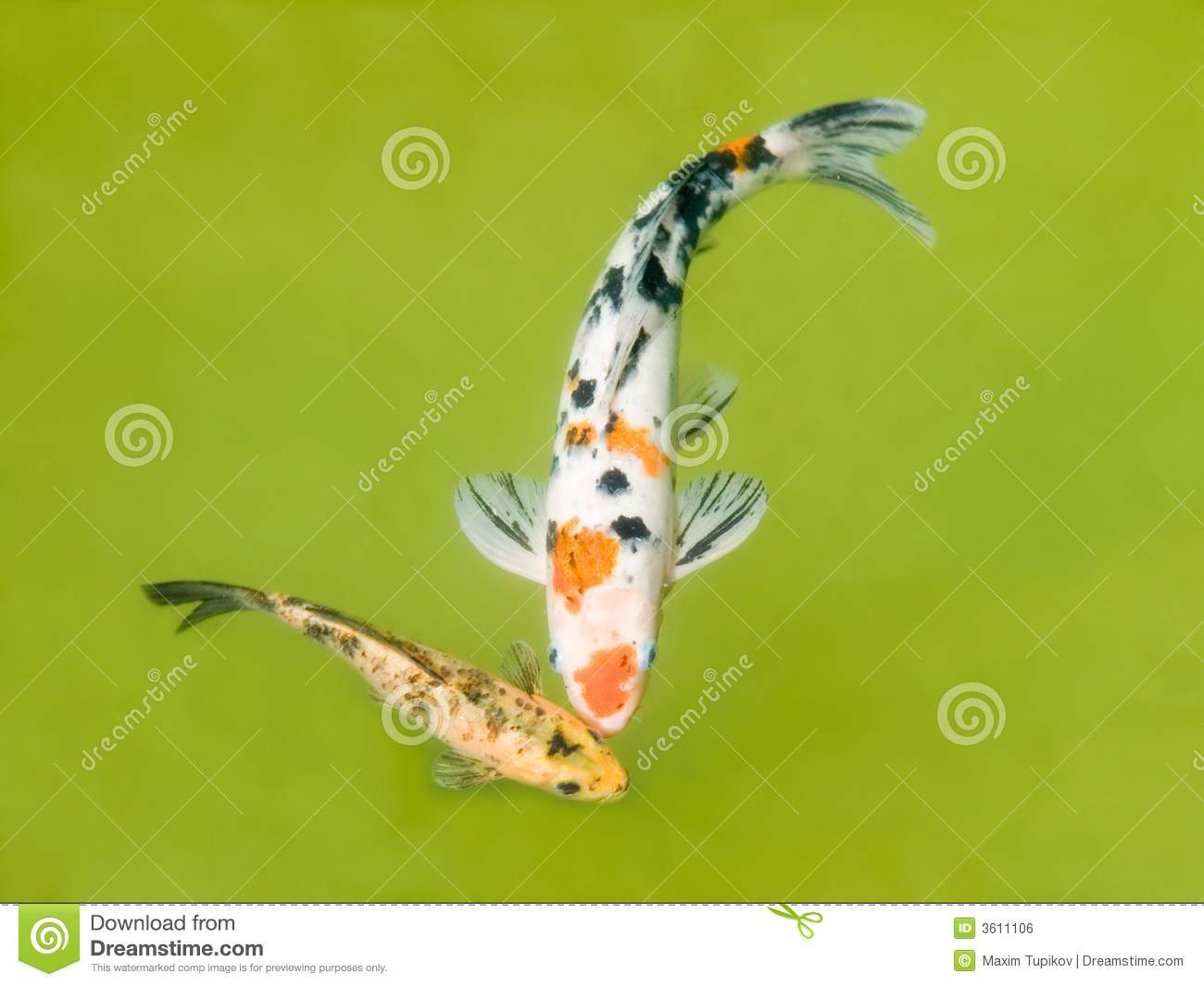 Golden koi in a pond in japan royalty free stock image for Golden ornamental pond fish crossword