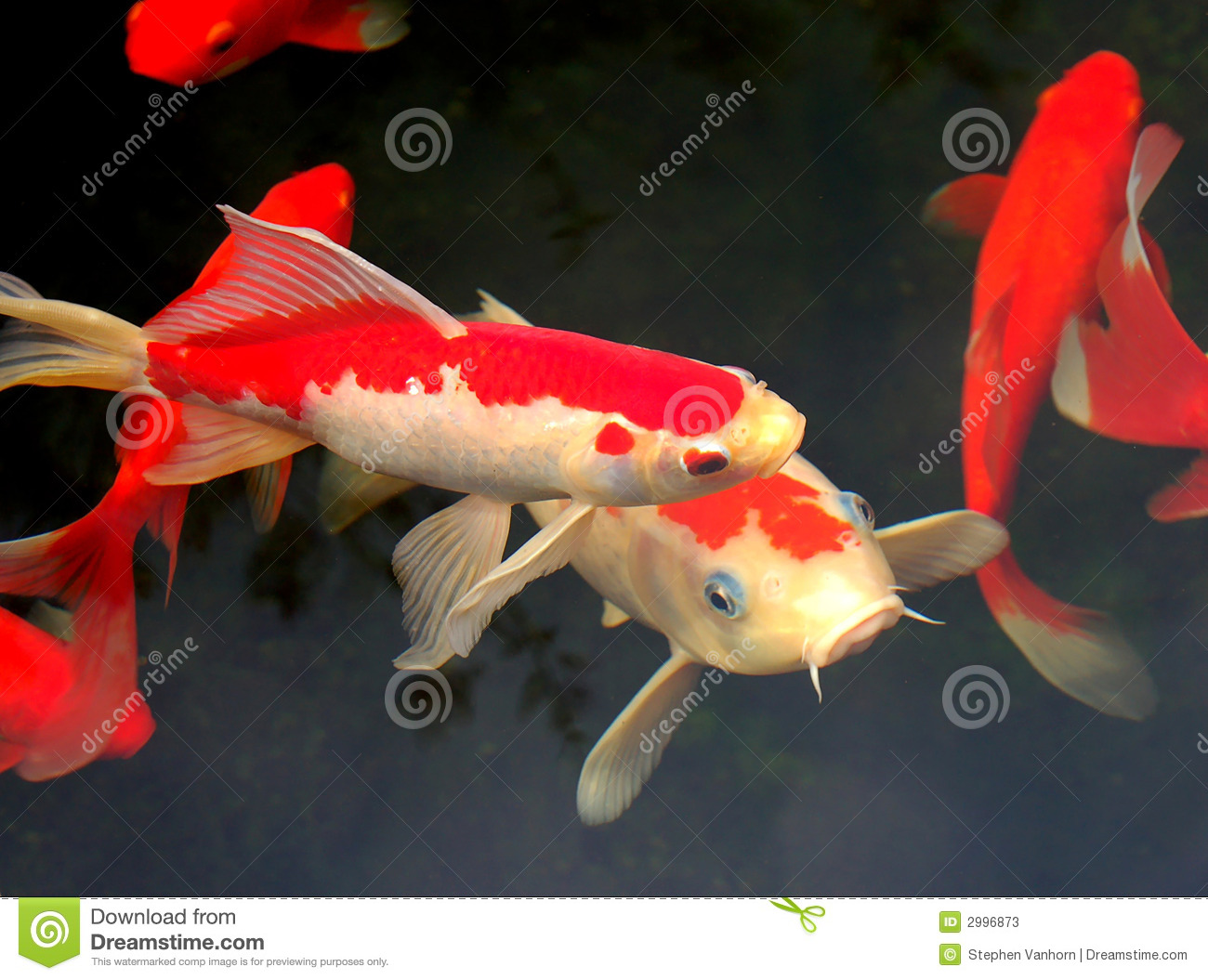 Koi and goldfish stock photos image 2996873 for Koi und goldfisch