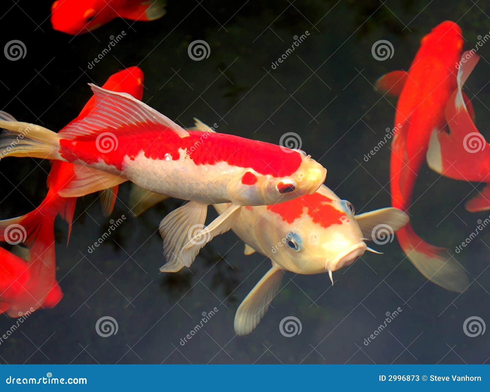 Koi and goldfish stock image image of fish residence for Koi goldfish