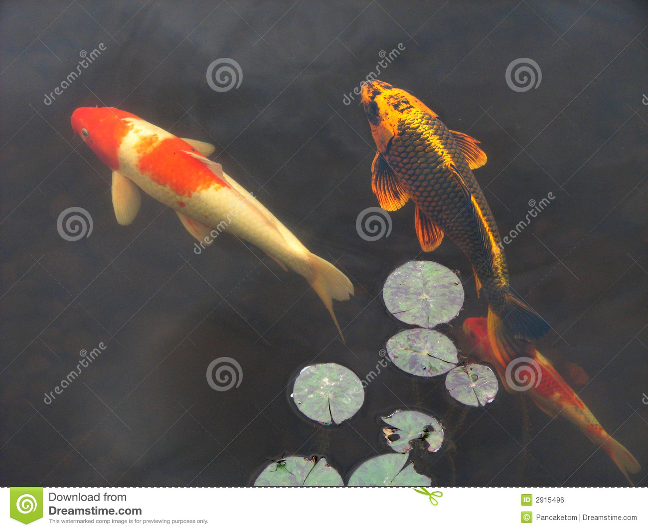 Koi goldfish in pool royalty free stock image image 2915496 Koi fish swimming pool