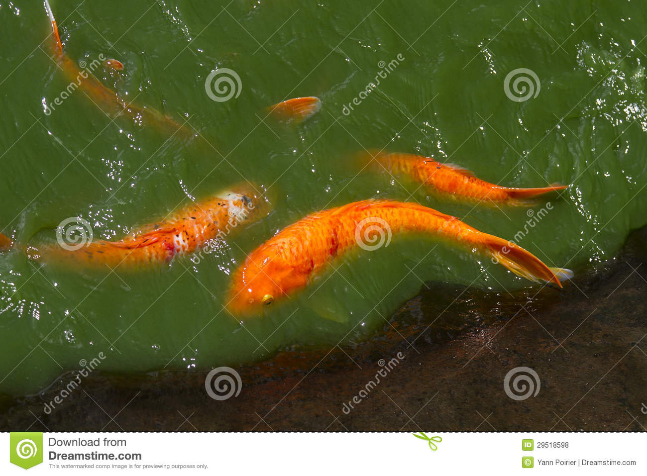 Koi in polluted water royalty free stock photos image for Koi fish head