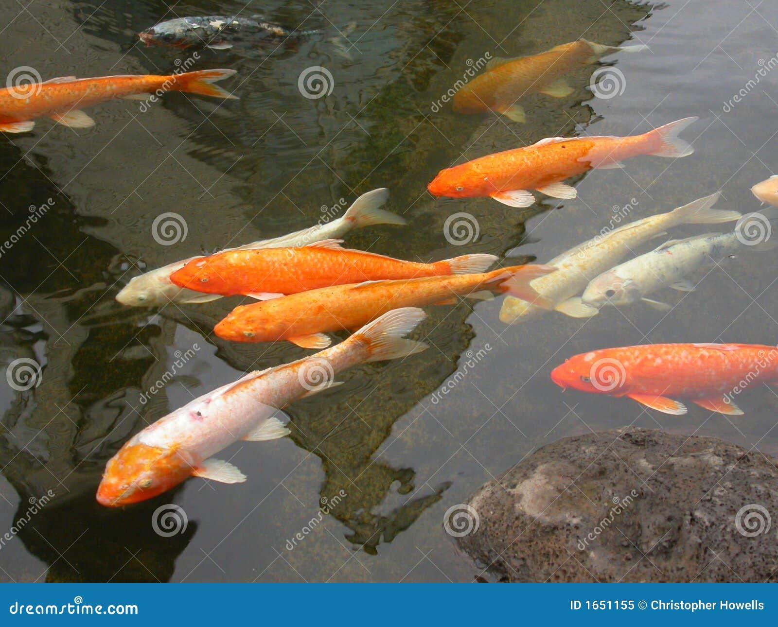 Koi pond stock image image of outdoor group pond for Shallow koi pond